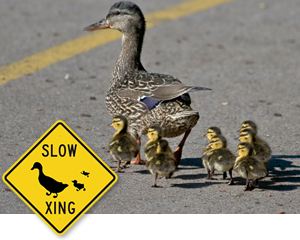 Slow Duck Crossing Signs